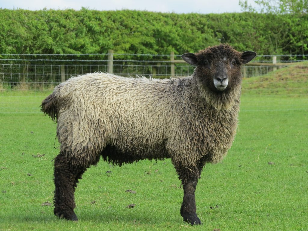 Leicester Longwool Sheep For Sale
