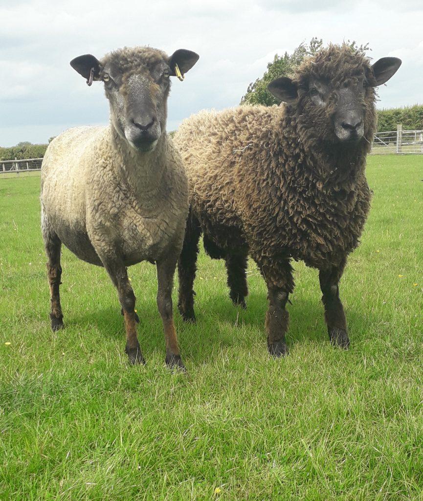 Mo and her ram lamb Eddie